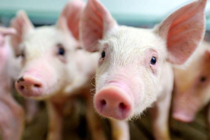 Fakta Virus G4 Flu Babi yang Katanya Lebih Berbahaya dari Corona