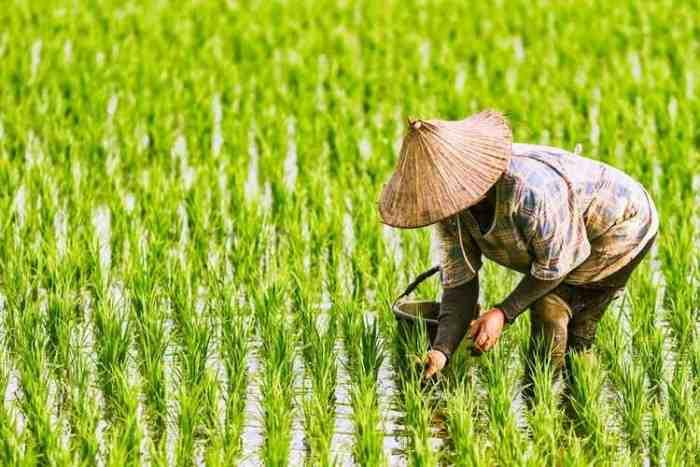 Petani Dapat Jatah 600 Ribu dari Jokowi, Begini Syaratnya